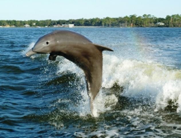 GINÁSTICA CEREBRAL <BR/> A fantástica memória dos golfinhos - SUPERA - Ginástica para o Cérebro